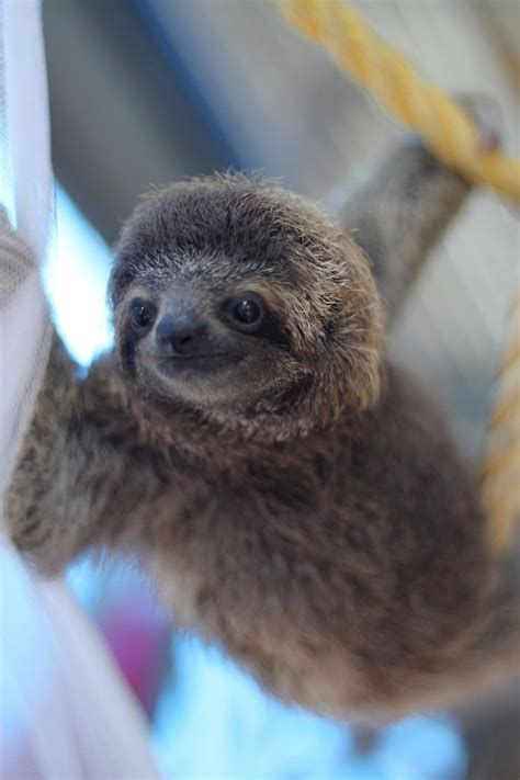 15+ Unbearably Cute Sloth Pics To Celebrate The
