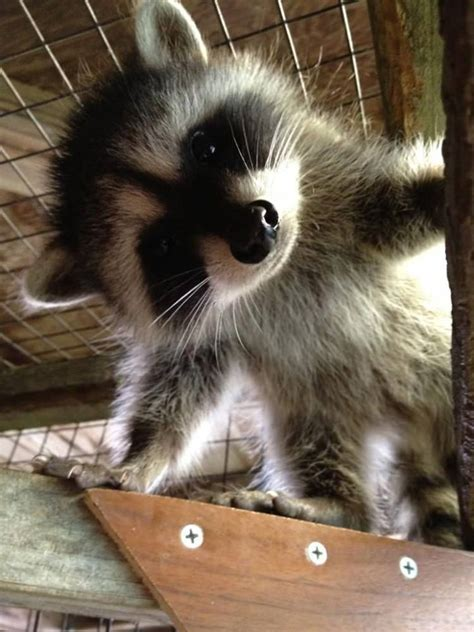 15 Raccoon Pictures That Prove How Cute They Actually Are