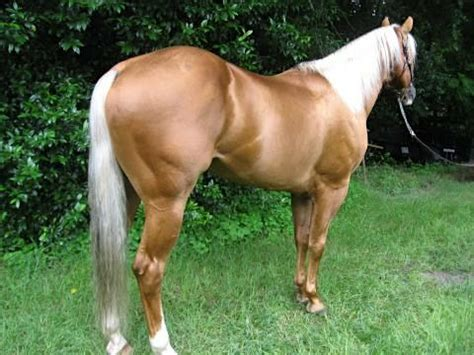 Palomino Horse Facts with Pictures   HorseBreedsPictures