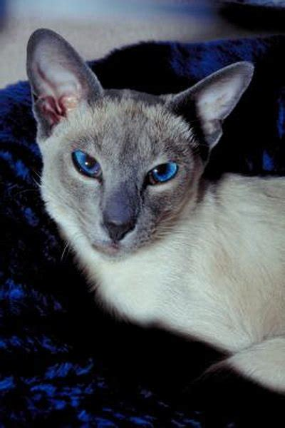 Anxiety in Siamese Cats - Pets