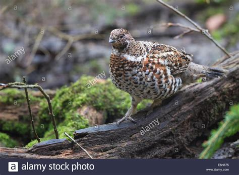 Haselhuhn Stock Photos & Haselhuhn Stock Images - Alamy