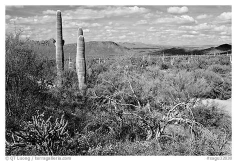 Black and White Picture/Photo: Lush desert with Cactus